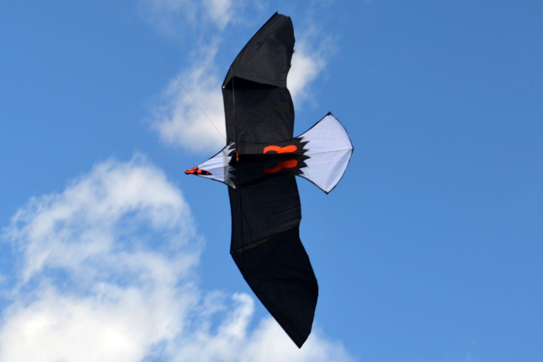 Молуккский орёл изображение 2