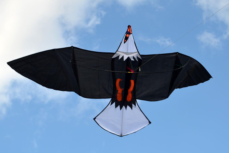 Молуккский орёл изображение 3