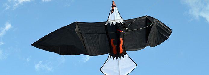 Молуккский орёл изображение 5